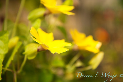 Thunbergia Sunny Lemon Star_003
