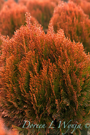 Thuja Occidentali Morgan_001