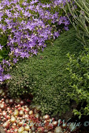 Thymus pseudolanuginosus_018_Doreen Wynja