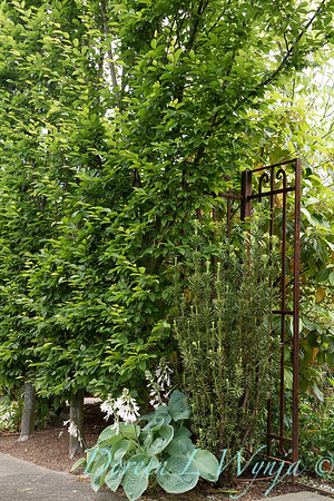 Taxus × media 'Stefania' - Carpinus betulus 'Fastigiata' hedge -rusted metal gate_0946