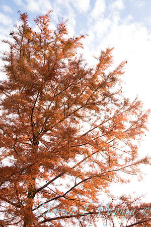 Taxodium distichum fall color_1082