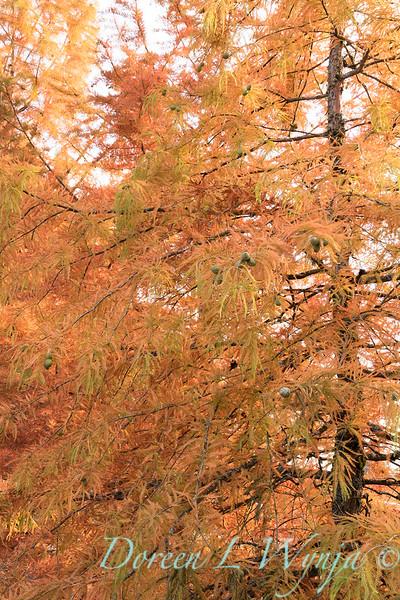 Taxodium distichum fall color_1085