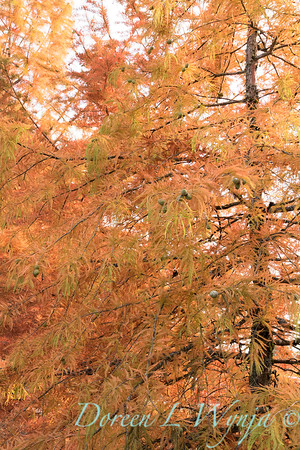 Taxodium distichum fall color_1085