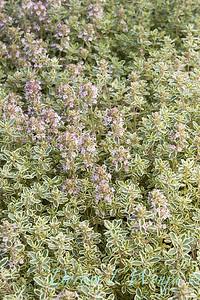 Thymus vulgaris 'Silver Posie'_1168