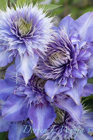 Clematis x 'Multi-blue'_7438