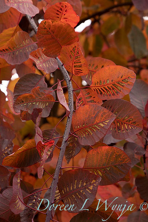Cotinus x 'Grace' leaves fall color_1448