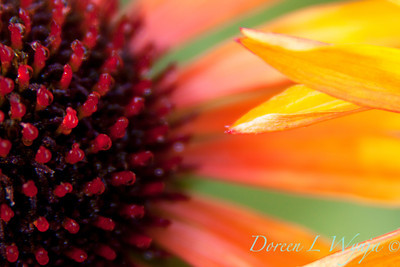 Echinacea Flame Thrower_018