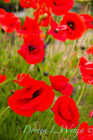 Red Poppies_044