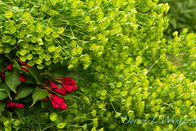 Euphorbia - Weigela florida Red Prince_0508