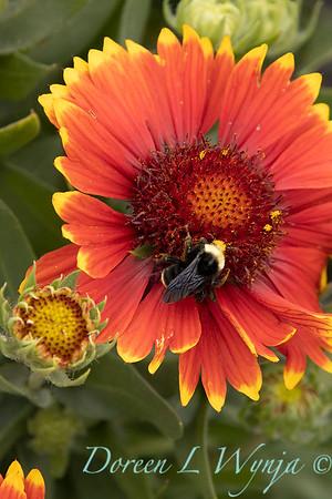 40875 Gaillardia x grandiflora 'Sunset Flash' with bee_1106