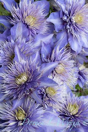 Clematis x 'Multi-blue'_7353