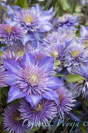 Clematis x 'Multi-blue'_7381