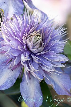 Clematis x 'Multi-blue'_7399