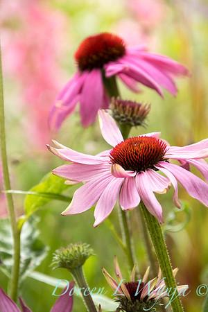 Echinacea purpurea 'Prairie Splendor'_9935GAP
