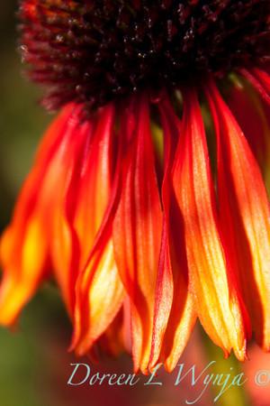 Echinacea Firebird_004