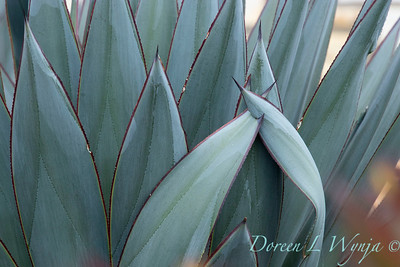 Agave 'Blue Glow' speared spike_7209