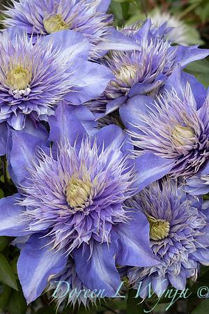 Clematis x 'Multi-blue'_7348