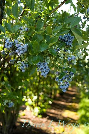 Blueberries_014