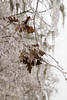 Winter frosted Quercus - oak trees_9530