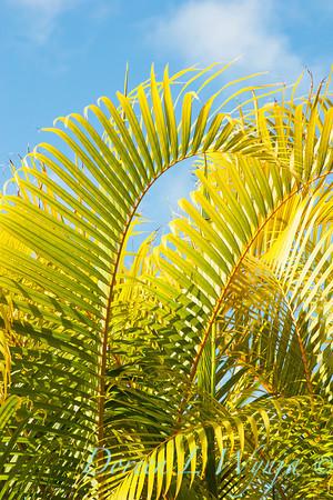 Ureka Palm_001