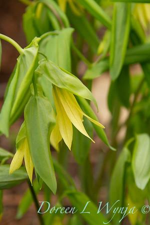 Uvularia grandiflora_006