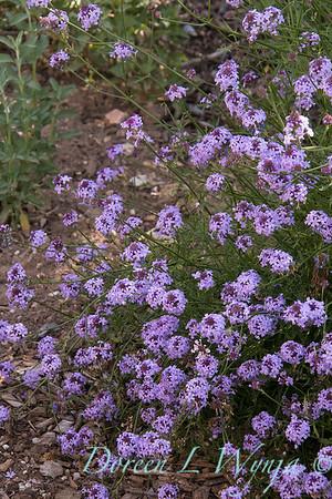 Verbena lilacina 'De La Mina'_4722