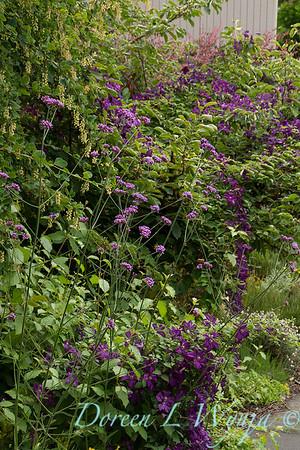 Verbena bonariensis_156