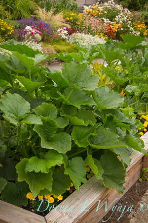 Urban vegetable garden with squash growing in a wooden raised bed, flowering garden, cutting garden, in the background