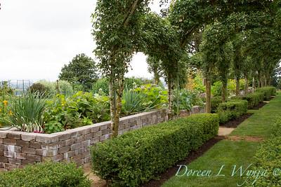 Laburnum watereri Vossii arbor - formal vegetable garden_033