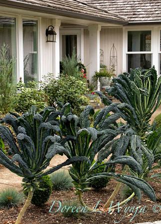 Brassica oleracea Lacinato Dinosaur kale urban gardening
