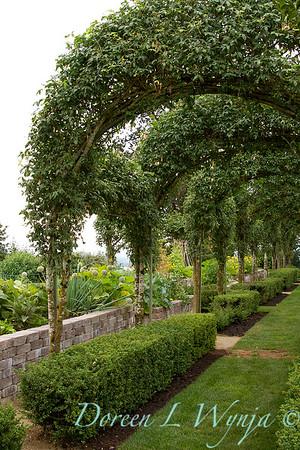 Laburnum watereri Vossii arbor - formal vegetable garden_034
