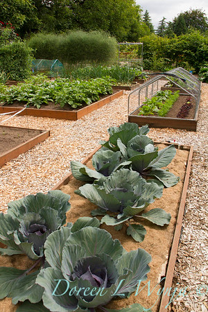 Brassica oleracea var capitata f rubra, cabbage, in a wooden raised bed; a nicely laid out vegetable garden with protected beds designed to keep the critters out