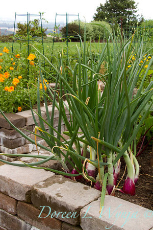urban vegetable garden - stacked paver raised bed - veggie garden - garden support -  trellis bamboo - red onions
