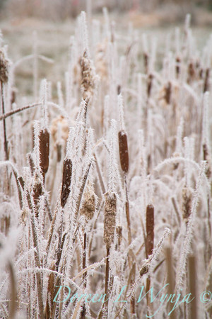 Winter frosted Typha cattails_9553