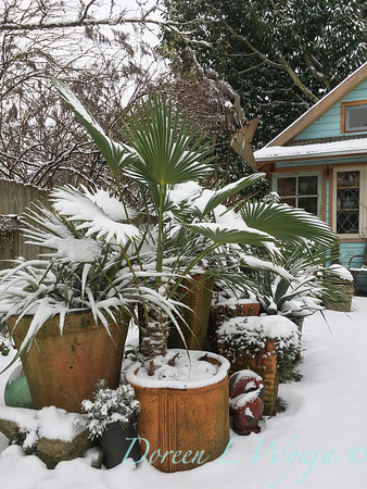 Trachycarpus takil in the snow_2385