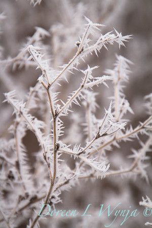 Winter frost_9316