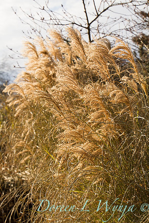 6166 Miscanthus sinensis 'Morning Light' winter interest_7708