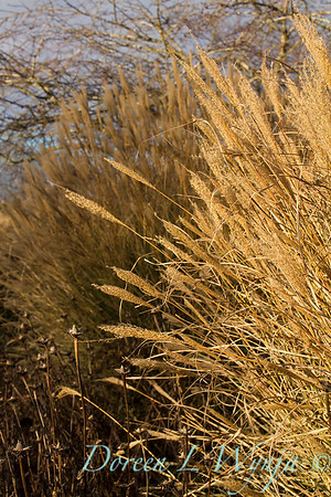 6164 Miscanthus sinensis 'Yakushima' winter interest_7689