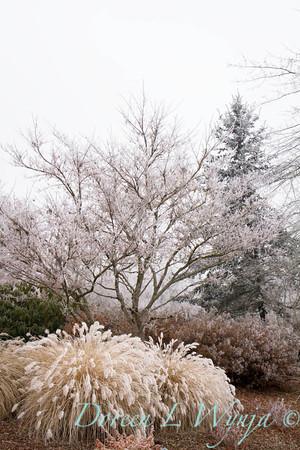 Pennisetum alopecuroides 'Hameln' - frost_9217