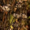 1822 Echinacea purpurea 'Ruby Star' winter interest_7697
