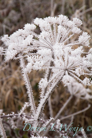 Winter frosted Daucus carota_9496