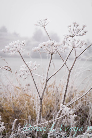 Winter frosted Daucus carota_9492