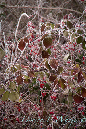 Winter frosted blackberries and red rosehips_9504
