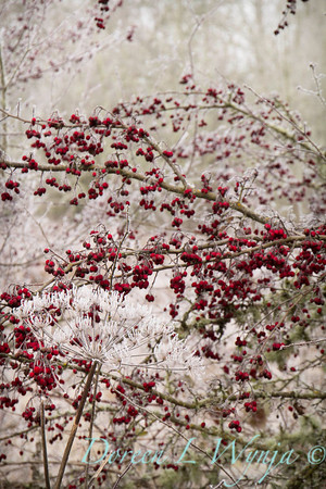 Winter frosted Daucus carota and red berries_9514