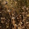 1822 Echinacea purpurea 'Ruby Star' winter interest_7693