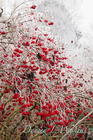 Forst on red berries_9293