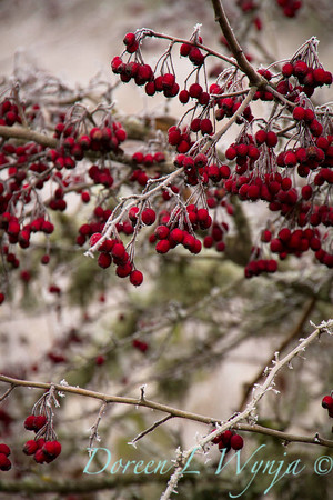 Winter frosted Daucus carota and red berries_9510
