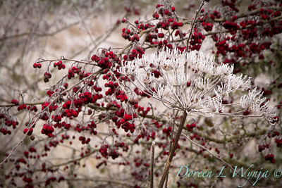 Winter frosted Daucus carota and red berries_9509
