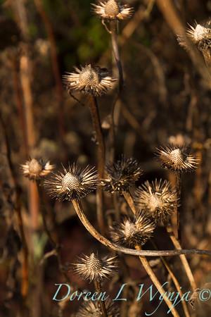 1822 Echinacea purpurea 'Ruby Star' winter interest_7700
