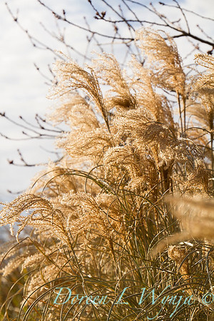 6166 Miscanthus sinensis 'Morning Light' winter interest_7711